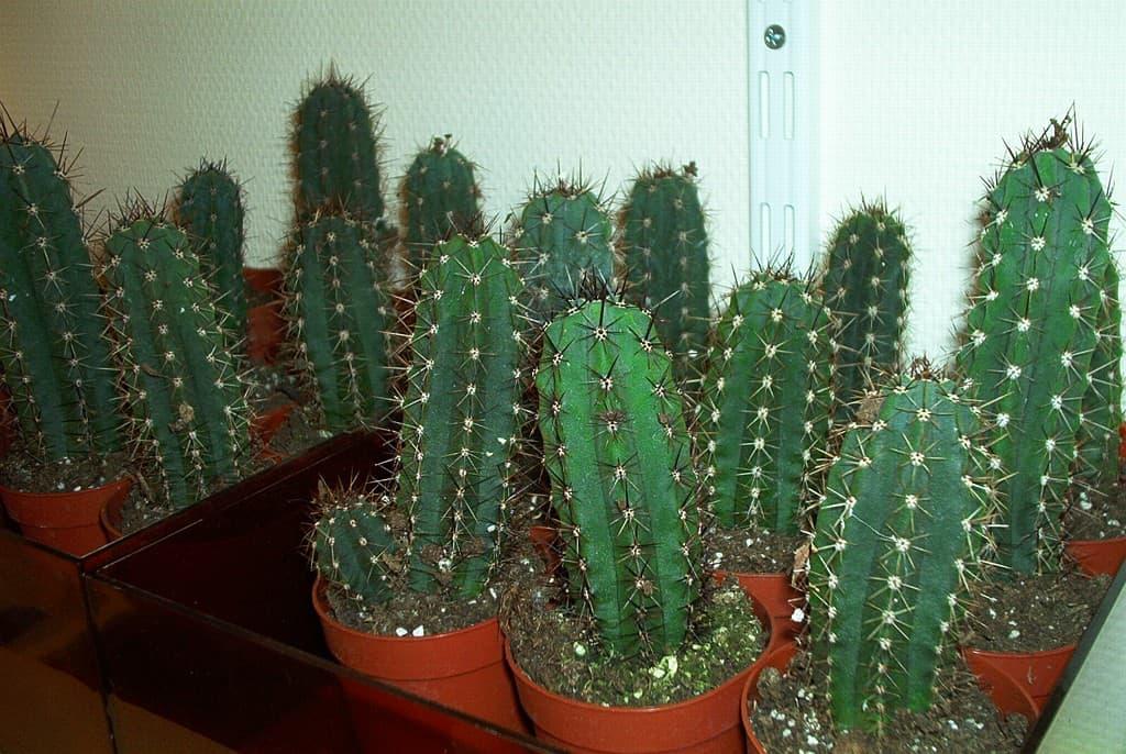 cactus san pedro cultivo interior